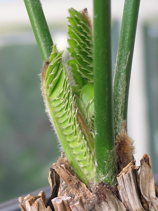 Encephalartos altensteinii robust