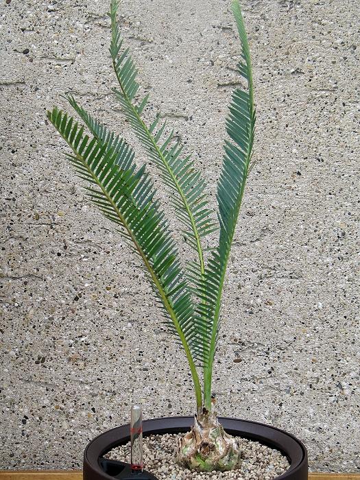 Dioon edule var.angustifolia
