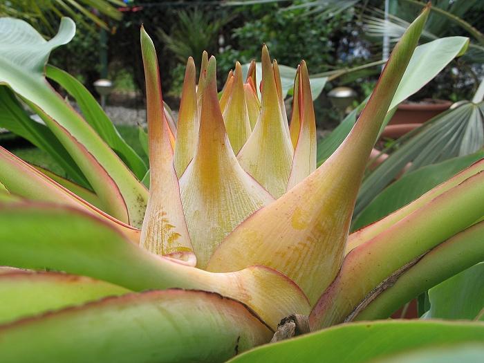 Musella lasiocarpa Blüte