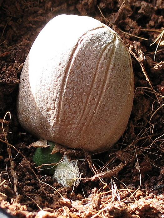 Encephalartos transvenosus x horridus