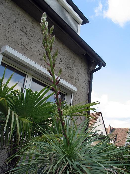 Yucca rostrata Blüte