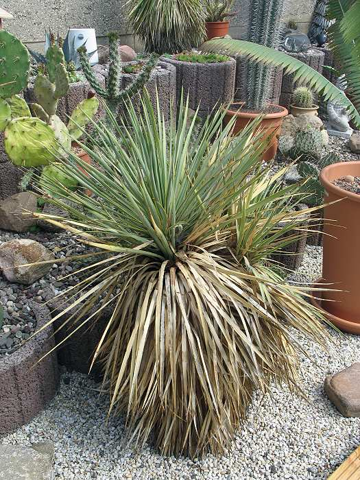 Yucca thomposoniana