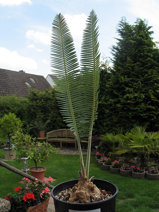 Dioon edule var. valles