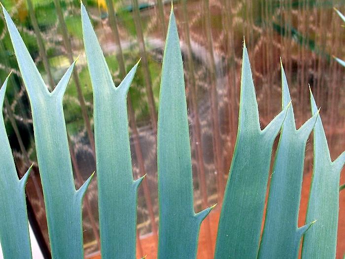 Encephalartos trispinosus silver